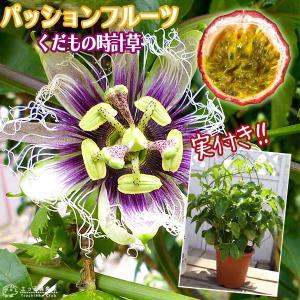 実付き パッションフルーツ『 くだもの時計草 』 5号鉢植え|produce87