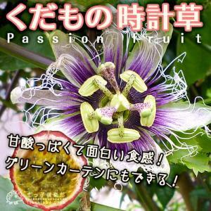 《特選 実付き!!》パッションフルーツ『くだもの時計草』 6号鉢植え