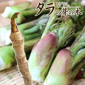 トゲなし 『 タラの芽の木 』 12cm(4号)ポット|produce87