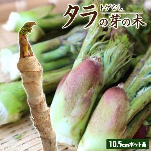 トゲなし 『 タラの芽の木 』 10.5cmポット苗|produce87