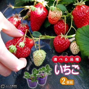 選べる品種 いちご苗 9cmポット苗 2個組|produce87
