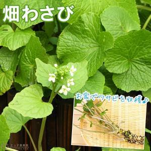 畑わさび ( ワサビ 苗 ) 2個セット 9cmポット苗|produce87