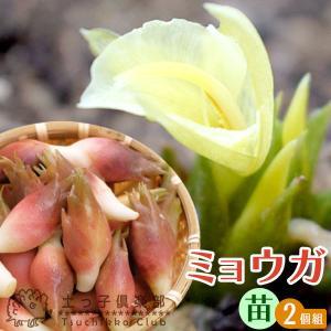 ミョウガ 9cmポット苗 【 2個セット 】|produce87