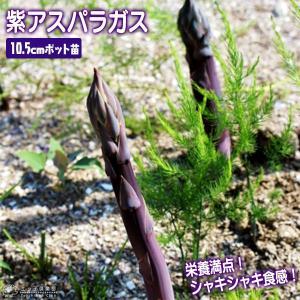 紫アスパラガス苗 10.5cmポット苗 (2年生)|produce87