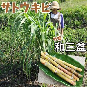 和三盆 サトウキビ ( 竹糖 ) 10.5cmポット苗|produce87