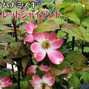 ハナミズキ 『 レッドジャイアント 』13.5cmポット 苗木|produce87