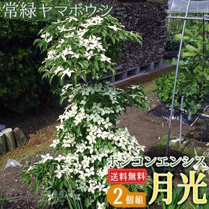 常緑ヤマボウシ 『 ホンコンエンシス ( 月光 ) 』 2個セット ( 送料無料 ) 挿し木 苗木 10.5cmポット苗|produce87