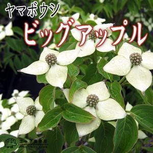 ヤマボウシ 『 ビッグアップル 』 13.5cmポット苗|produce87