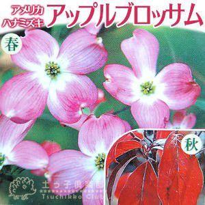 ハナミズキ 『 アップルブロッサム 』 5号鉢植え 花芽付き|produce87