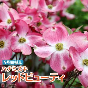 ハナミズキ 『 レッドビューティ 』 5号鉢植え|produce87
