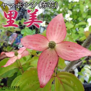 ヤマボウシ 『 サトミ ( 赤花 ) 』 18cmポット苗|produce87