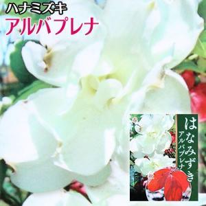 ハナミズキ 『 アルバプレナ 』 13.5cmポット 苗木|produce87