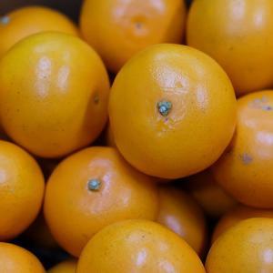 鹿児島県産 せとか 秀品 Lサイズ 5kg|promart-jp|04