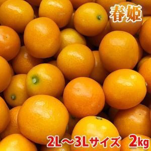 鹿児島県産きんかん 春姫 2L〜3Lサイズ 2kg(化粧箱)|promart-jp