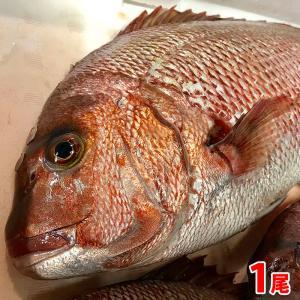 【送料無料】愛媛県産 養殖マダイ(真鯛)1尾約1.2〜1.8kg(正味600g〜700g)  promart-jp