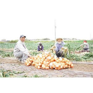 甘くて肉厚!!砂地で育った「千葉県白子産 新玉ねぎ」(5キロ)|puku-kouji|05
