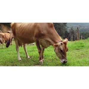 ジャージー牛乳 低温殺菌牛乳 白木牧場の特別牛乳 720ml×3本セット(こだわりの牛乳)|qtsuhanshop|05