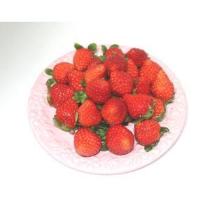 【送料無料】Mサイズのブランド苺【おさなご】福岡県みやま市産 EM栽培【有機肥料栽培】イチゴ さがほのか qtsuhanshop