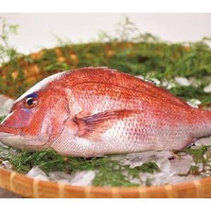 【送料無料】【送料無料】仮屋湾の真鯛(1.5キロ)|qtsuhanshop