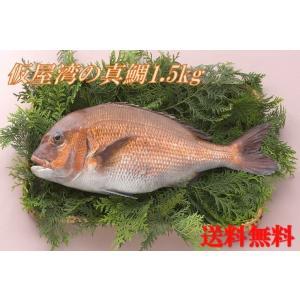 【送料無料】【送料無料】仮屋湾の真鯛(1.5キロ)|qtsuhanshop|02