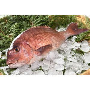 【送料無料】【送料無料】仮屋湾の真鯛(1.5キロ)|qtsuhanshop|03