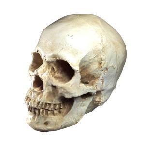 頭蓋骨の模型 インテリア 置物 小道具 髑髏 ドクロ スカル 販売 通販|qualite21
