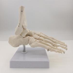 足模型 骨格 足指 関節 人体模型 足骨の構造をリアルに再現 脛骨 腓骨 解剖 構造 部位 場所 インテリア 置物 小道具|qualite21