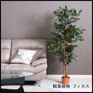 観葉植物 フィカス 690 A 52661 代引き不可 送料無料|rankup