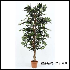観葉植物 フィカス 1124 A 52662 代引き不可 送料無料|rankup