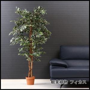 観葉植物 フィカス 1124 B 52664 代引き不可 送料無料|rankup