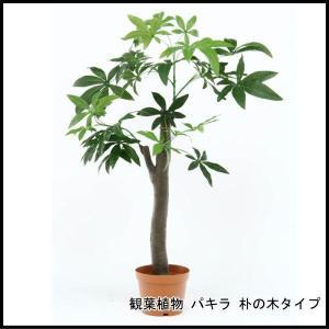 観葉植物 パキラ 朴の木タイプ 52665 代引き不可 送料無料|rankup