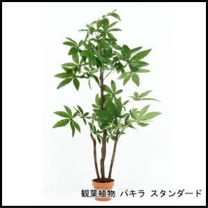 観葉植物 パキラ スタンダード 52666 代引き不可 送料無料|rankup