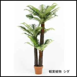 観葉植物 シダ 43 52678 代引き不可 送料無料|rankup