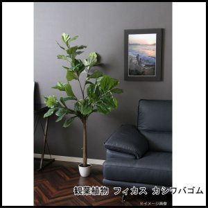 観葉植物 フィカス カシワバゴム 52691 代引き不可 送料無料|rankup