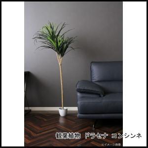 観葉植物 ドラセナ コンシンネ 52692 代引き不可 送料無料|rankup