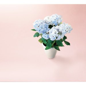 アジサイ鉢植え 万華鏡 母の日 室内装飾品 花・グリ-ン 鉢...