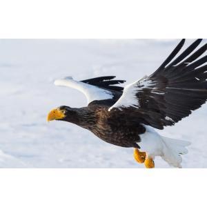 絵画風 壁紙ポスター  オオワシ 大鷲 イーグル 鷲 鳥 キャラクロ BEGL-001W1 (ワイド版 921mm×576mm)|real-inter