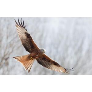 絵画風 壁紙ポスター  オジロワシ 尾白鷲 イーグル 鷲 鳥 キャラクロ BEGL-003W1 (ワイド版 921mm×576mm)|real-inter