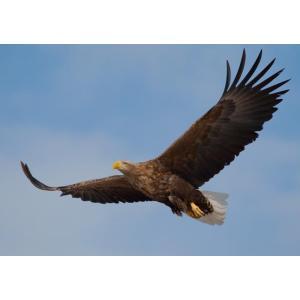 絵画風 壁紙ポスター  オジロワシ 尾白鷲 イーグル 鷲 鳥 キャラクロ BEGL-004A1 (A1版 830mm×585mm)|real-inter