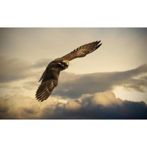 絵画風 壁紙ポスター  イヌワシ 犬鷲 イーグル 鷲 鳥 キャラクロ BEGL-005W2 (ワイド版 603mm×376mm)|real-inter