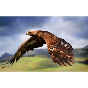 絵画風 壁紙ポスター  イヌワシ 犬鷲 イーグル 鷲 鳥 キャラクロ BEGL-006W1 (ワイド版 921mm×576mm)|real-inter