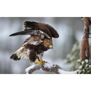 絵画風 壁紙ポスター  イヌワシ 犬鷲 イーグル 鷲 鳥 キャラクロ BEGL-007W1 (ワイド版 921mm×576mm)|real-inter