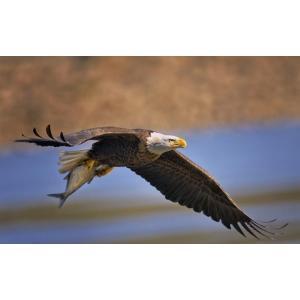 絵画風 壁紙ポスター  ハクトウワシ 白頭鷲 イーグル 鷲 鳥 キャラクロ BEGL-008W1 (ワイド版 921mm×576mm)|real-inter