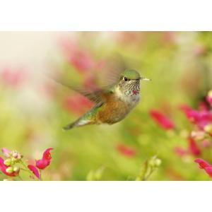 絵画風 壁紙ポスター  ハチドリ 蜂鳥 世界最小の鳥 ハミングバード 鳥 キャラクロ BHCD-001A2 (A2版 594mm×420mm)|real-inter