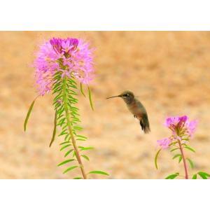 絵画風 壁紙ポスター  アカハチドリのホバリング 蜂鳥 世界最小の鳥 ハミングバード 鳥 キャラクロ BHCD-002A2 (A2版 594mm×420mm)|real-inter