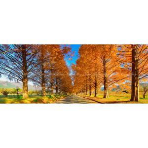 絵画風 壁紙ポスター  -地球の撮り方- どこまでも続く並木道 メタセコイア並木の紅葉 滋賀県高島市...