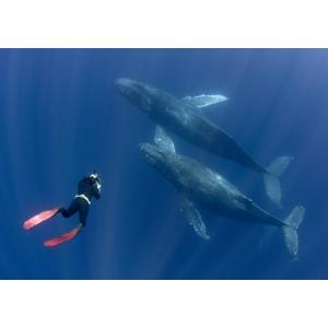 絵画風 壁紙ポスター  ダイビング クジラ スキューバ ダイバー 深海 海 キャラクロ DVG-005A2 (A2版 594mm×420mm) real-inter