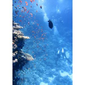 絵画風 壁紙ポスター  ダイビング ダイバー サンゴ 海底 海 キャラクロ DVG-015A1 (A2版 585mm×830mm)|real-inter
