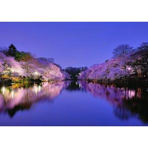 絵画風 壁紙ポスター  さくら 夜桜 大阪 夜景 ライトアップ キャラクロ OSK-005A1 (A...