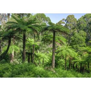 絵画風 壁紙ポスター  ヤシの木の森林 オーストラリア 熱帯雨林 ジャングル 癒し キャラクロ SNR-033A1 (A1版 830mm×585mm)|real-inter
